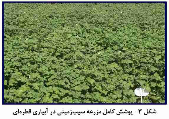 پوشش کامل مزرعه سیب زمینی در آبیاری قطره ای
