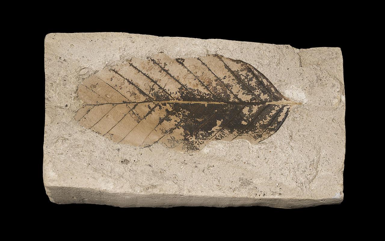 فسیل برگ درخت راش اروپایی مربوط به ۲/۵۸۸/۰۰۰ تا ۳/۰۰۰/۰۰۰ سال پیش در موزه تولو
