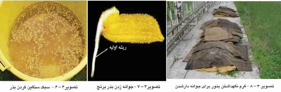 روش جداسازی بذر قوی از ضعیف و جوانه دار کردن بذر برنج