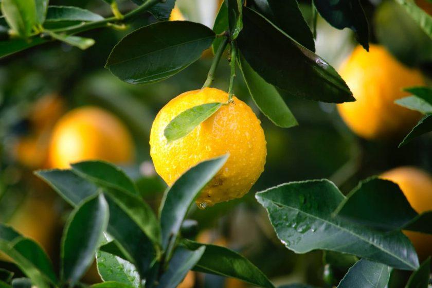 لیمو برای گلو