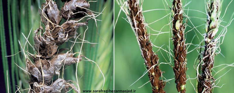 سیاهک آشکار گندم - Ustilago nuda (Ustilago.tritici)